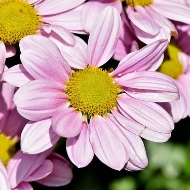 マーガレットの花言葉まとめ!白・ピンクなど色別の意味や名前の由来も!