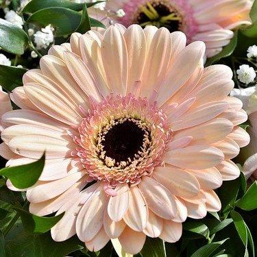 ガーベラの花言葉の意味を調査!色や種類での送る本数の注意点も解説!