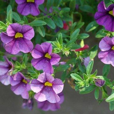 ペチュニアの花言葉まとめ!ピンクや紫など色別の意味や由来もあり!