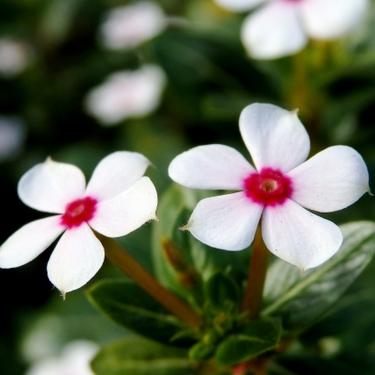 ニチニチソウの花言葉とは?色別の意味の違いや由来などまとめてご紹介!