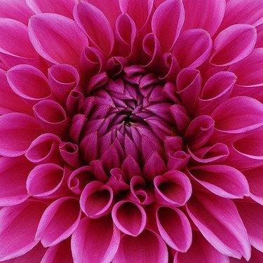 ダリアの花言葉を徹底解説!ピンク・白など色別の意味や由来もあり!
