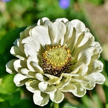 ジニア(百日草)の花言葉まとめ!色や種類別の違いや由来・花の特徴も!