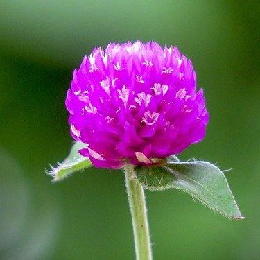 千日紅(センニチコウ)の花言葉と由来を紹介!花の特徴や開花の季節も!