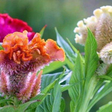 ケイトウの花言葉の意味は?色・種類別の違いや由来などを徹底調査!