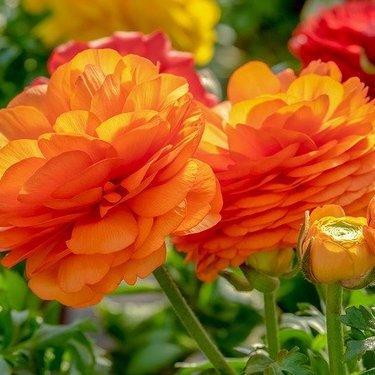 ラナンキュラスの花言葉が怖いって本当?色別の意味や名前の由来をご紹介!