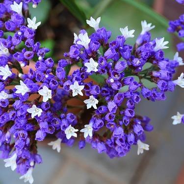 スターチスの花言葉って何?花の名前や意味の由来や種類別の違いもあり!