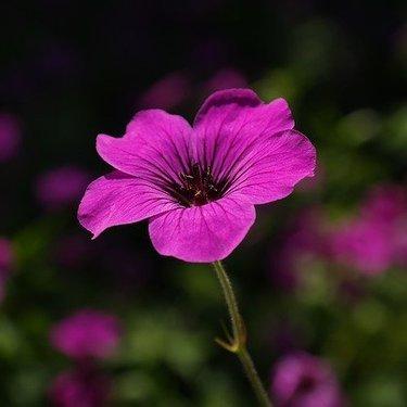 ゼラニウムの花言葉まとめ!色別の意味や花の由来なども合わせて解説!