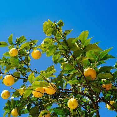 剪定 木 レモン の