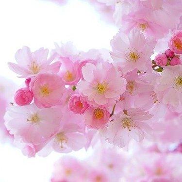blossom(ブロッサム)の意味とは?言葉の語源やフラワーとの違いを解説!