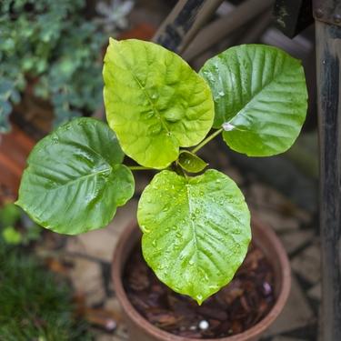 ウンベラータは人気の観葉植物!育て方・季節ごとの注意点・花言葉もご紹介