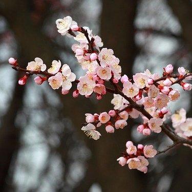 梅の収穫時期はいつ頃?花の開花や色などの特徴でタイミングをチェック!