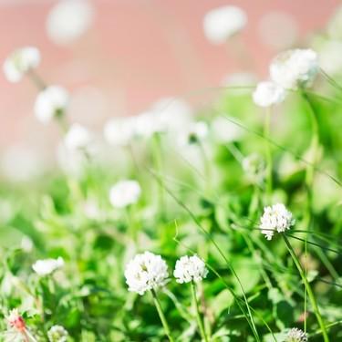 シロツメクサの品種や花言葉は?開花時期や種類なども丁寧にご紹介