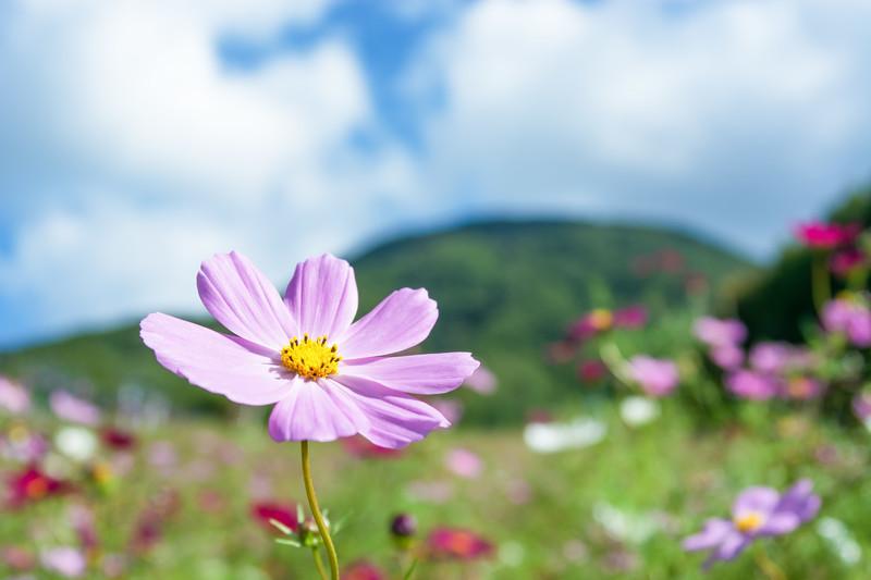 「コスモス」の花言葉とは?意味や使い方を解説!
