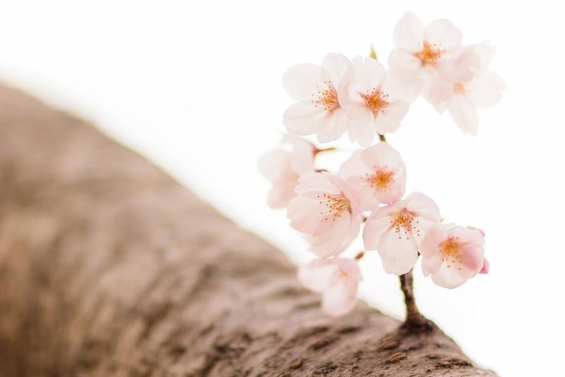 「サクラ」の花言葉とは?意味や使い方を解説!