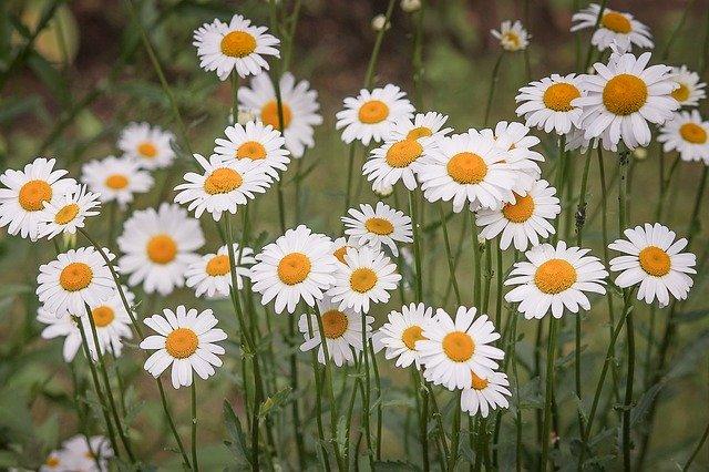 「マーガレット」の花言葉とは?意味や使い方を解説!