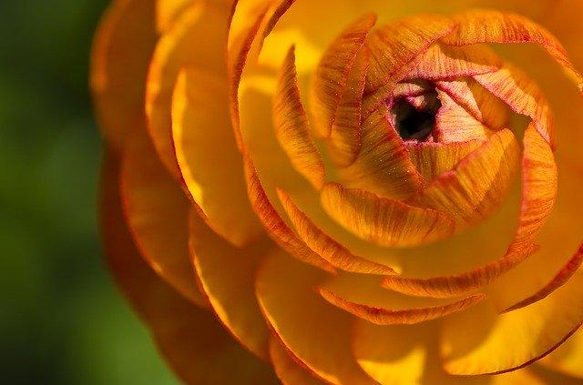 「ラナンキュラス」の花言葉とは?意味や使い方を解説!