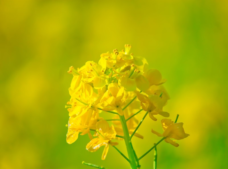 「菜の花」の花言葉とは?意味や使い方を解説!