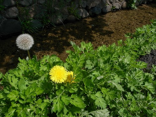 「タンポポ」の花言葉とは?意味や使い方を解説!