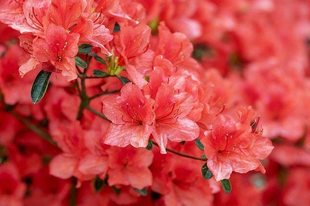 「ツツジ」の花言葉とは?意味や誕生花を解説!