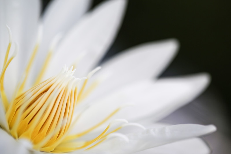 「スイレン」の花言葉とは?意味や誕生花を解説!