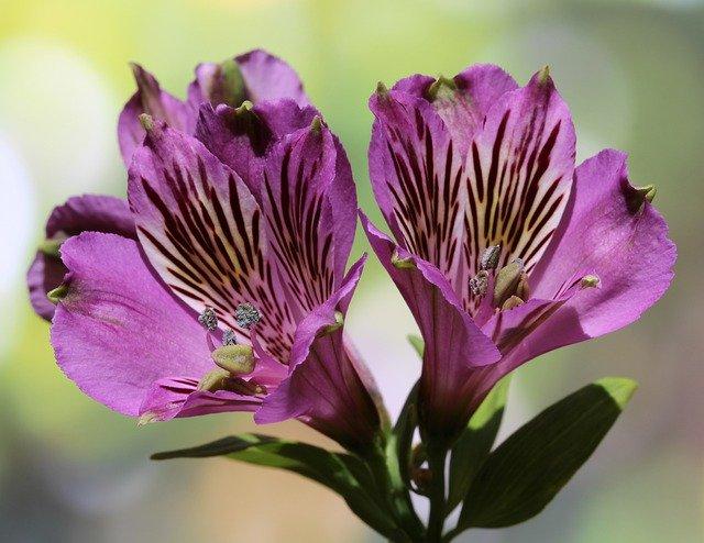 「アルストロメリア」の花言葉とは?意味や誕生花を解説!