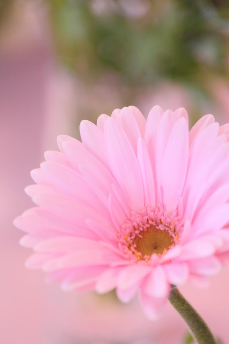 「ガーベラ」の花言葉とは?意味や誕生花を解説!