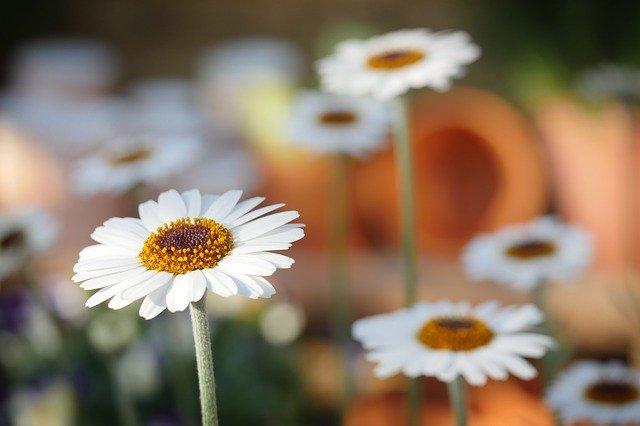 「デイジー(雛菊)」の花言葉とは?意味や誕生花を解説!