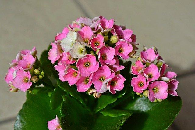 「カランコエ」の花言葉とは?意味や誕生花を解説!