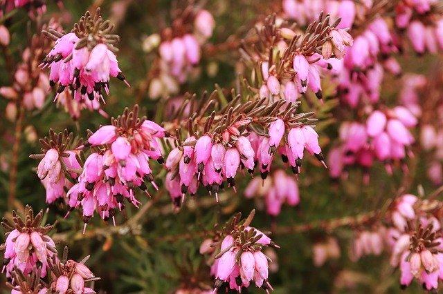 「エリカ」の花言葉とは?意味や誕生花を解説!