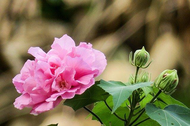 「芙蓉(フヨウ)」の花言葉とは?意味や誕生花を解説!