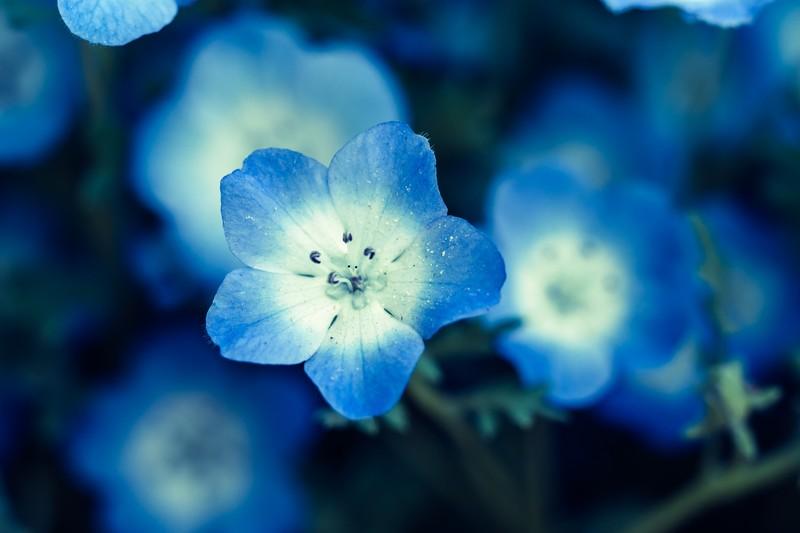 「ネモフィラ」の花言葉とは?意味や誕生花を解説!