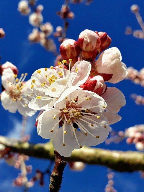 「杏(アンズ)」の花言葉とは?意味や誕生花を解説!