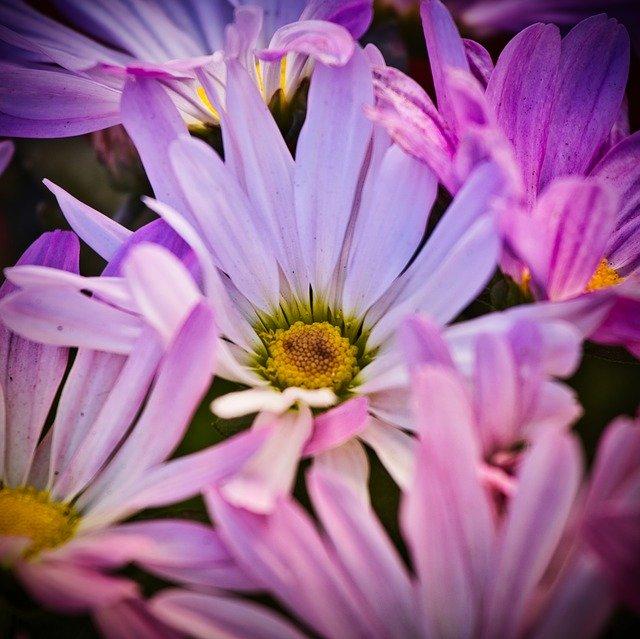 「エゾギク(アスター)」の花言葉とは?意味や誕生花を解説!