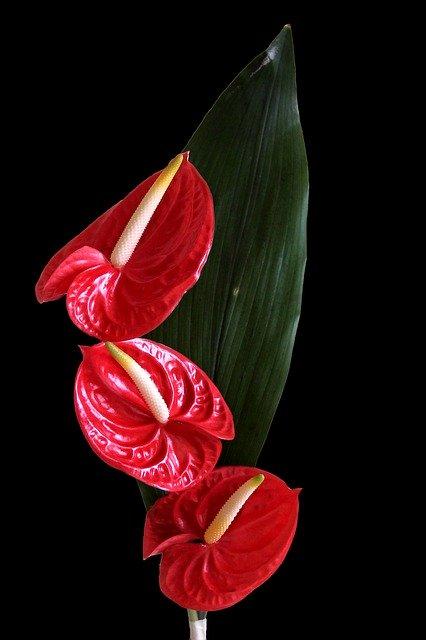 「アンスリウム」の花言葉とは?意味や誕生花を解説!