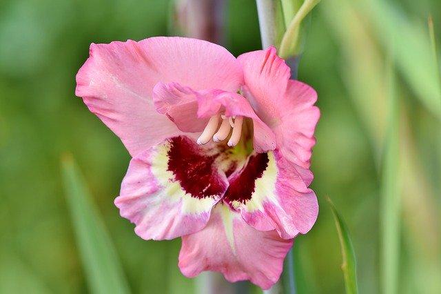 「グラジオラス」の花言葉とは?意味や誕生花を解説!