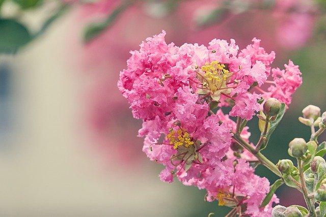 「百日紅(サルスベリ)」の花言葉とは?意味や誕生花を解説!