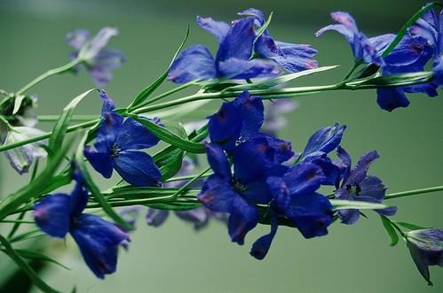 「デルフィニウム」の花言葉とは?意味や誕生花を解説!