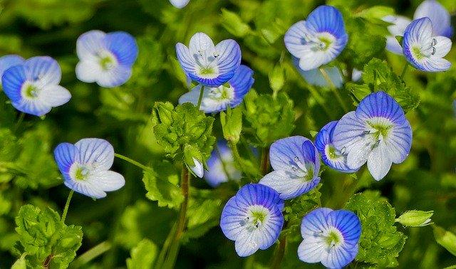 「オオイヌノフグリ」の花言葉とは?意味や誕生花を解説!
