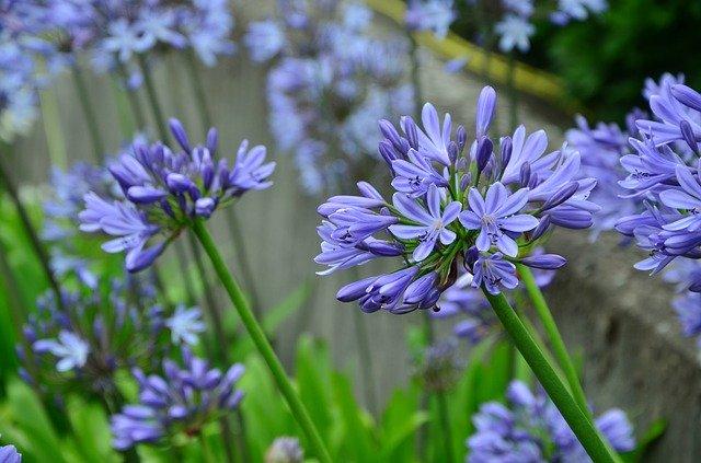 「アガパンサス」の花言葉とは?意味や誕生花を解説!