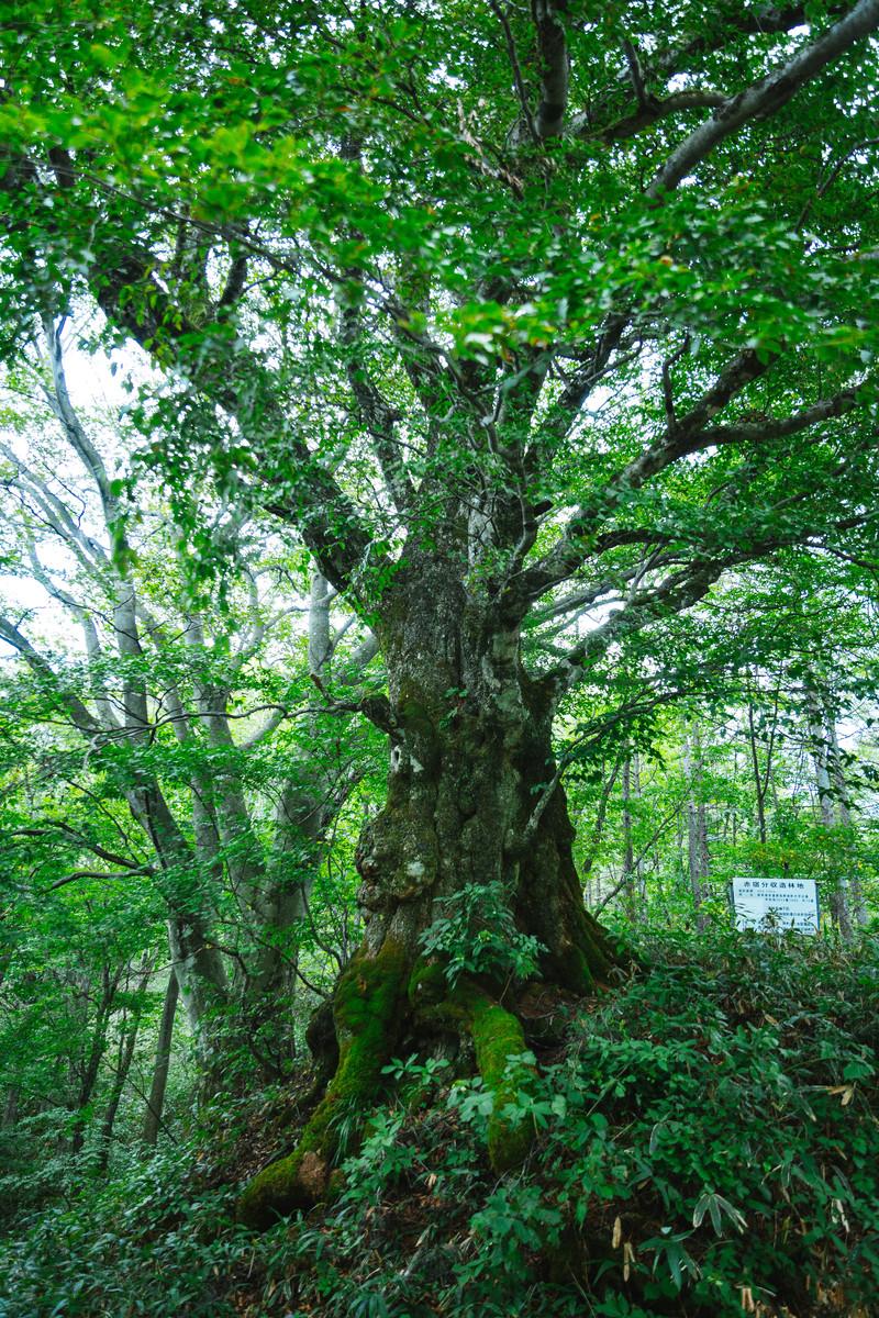 「寄らば大樹の陰」の意味とは?意味や使い方を解説!