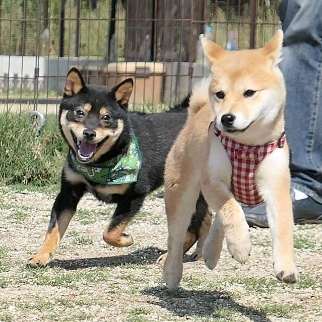 赤毛の柴犬と黒柴