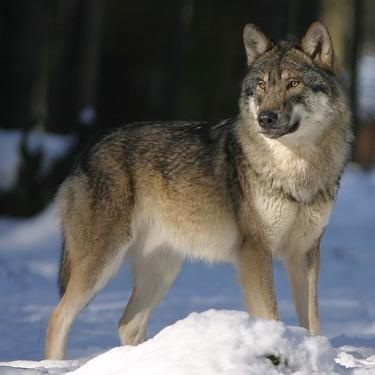 狼犬(ウルフドッグ)とはどんな犬?性格や飼育しやすいのか・購入価格などをご紹介!