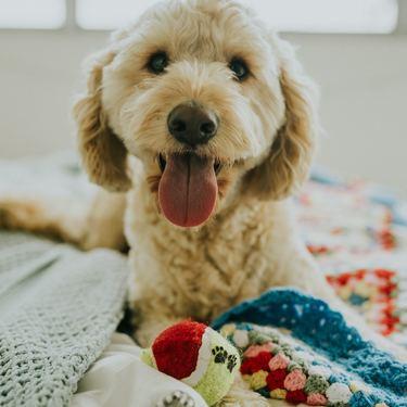 ゴールデンドゥードルとはどんな犬?価格や性格をご紹介!