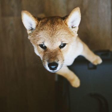 小豆柴とはどんな犬?性格やサイズ・値段をご紹介!