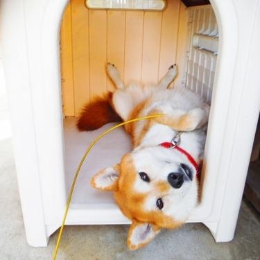 犬が仰向けでお腹を見せる意味や理由をご紹介!