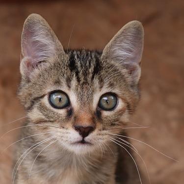 猫の耳毛は処理(カット)すべき?猫の耳毛を切る方法をご紹介!