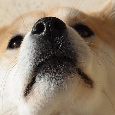 柴犬は何歳まで生きる?柴犬の平均寿命と人間の年齢への換算表をご紹介!