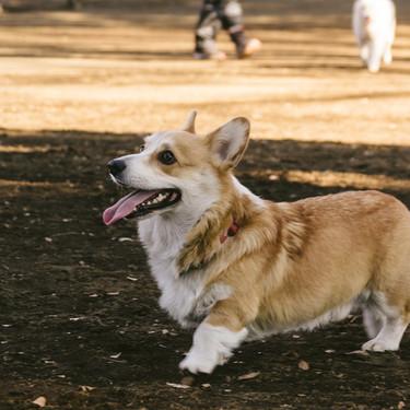 なぜ犬の散歩が必要なのか?メリットや回数・頻度と散歩のマナーについてご紹介!