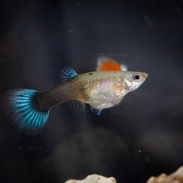 初心者におすすめの熱帯魚の種類18選!飼育しやすい人気の熱帯魚はコレ!