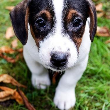 ジャックラッセルテリアとはどんな犬?性格や種類や値段をご紹介!